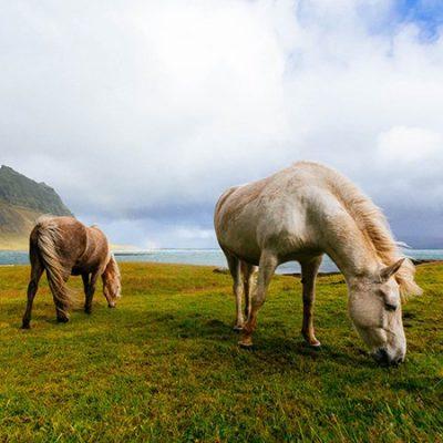 Isländer Satteldecken für Gangpferdesättel und Töltsättel zum Töltreiten